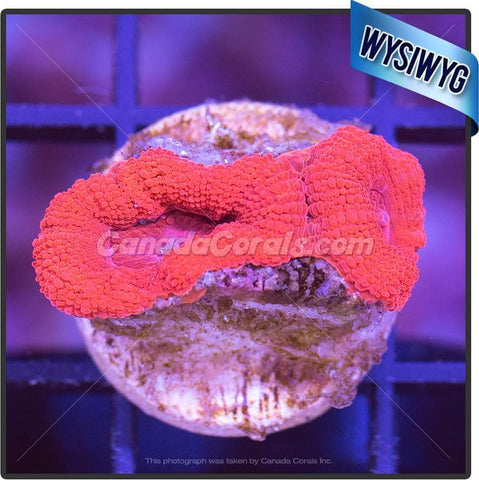 Crazy Red Acan Lord WYSIWYG 4