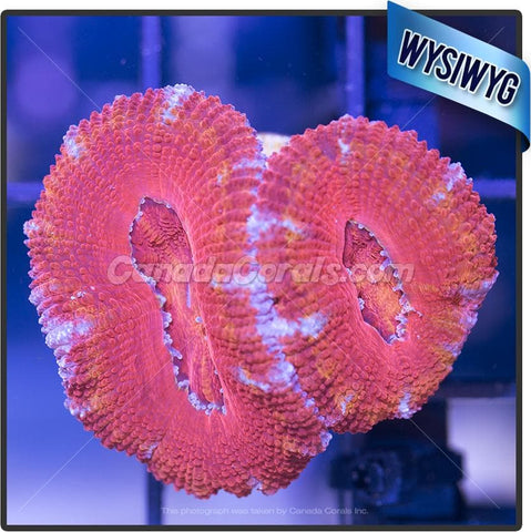Orange Splatter Ultra Acan Lord WYSIWYG 3