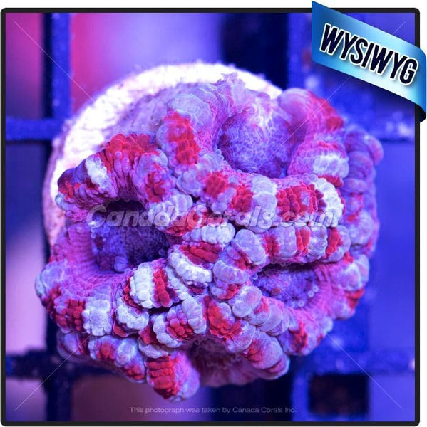 Blue Blood Acan Lord WYSIWYG 5