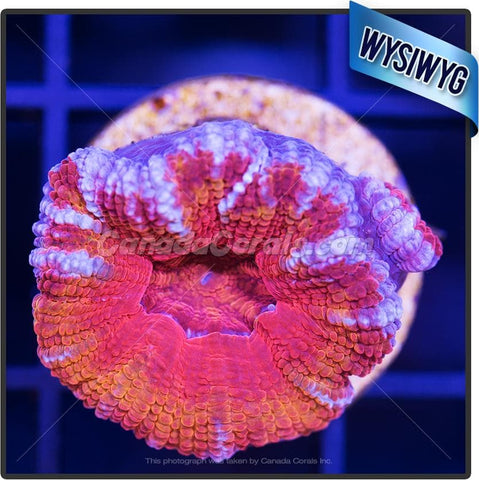 Orange Splatter Ultra Acan Lord WYSIWYG 4