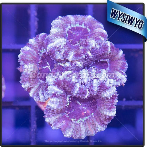 Frosted Grape Acan Lord WYSIWYG 3
