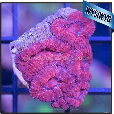 Ravishing Red Acan Lord WYSIWYG