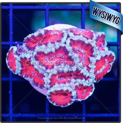 Red Tiger Acan Lord WYSIWYG 4