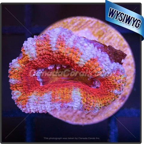 Sunny Side Up Ultra Acan Lord WYSIWYG 5