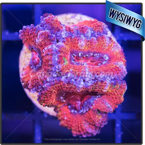Candy Factory Ultra Acan Lord WYSIWYG 5