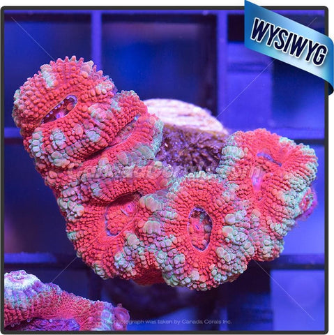 Hot Rod Red Acan Lord WYSIWYG 4