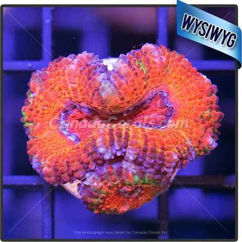 Candy Factory Ultra Acan Lord WYSIWYG
