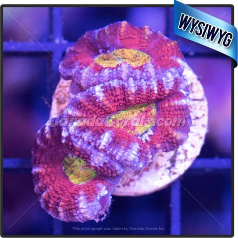 Aussie Blast from the Past Ultra Acan Lord WYSIWYG 3