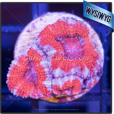 Blue Moon Rim Acan Lord WYSIWYG 11