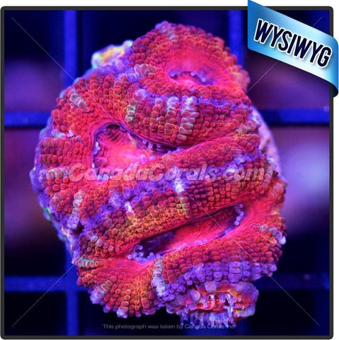 Candy Factory Ultra Acan Lord WYSIWYG 6