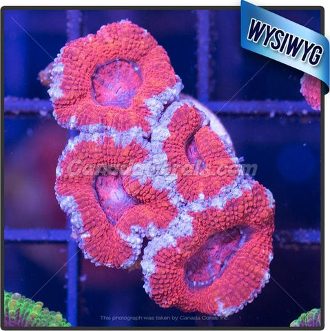 Blue Moon Rim Acan Lord WYSIWYG 9