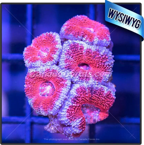 Blue Moon Rim Acan Lord WYSIWYG 10