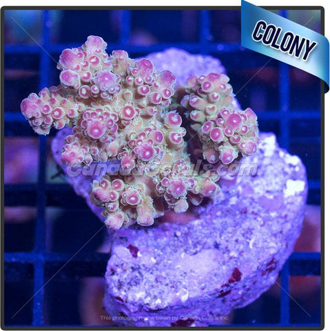 Cherry Popper Acropora Spp. Colony 2