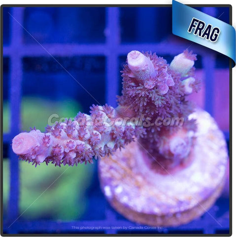 Magic Fairyland Acropora Sp. Frag