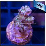 Dusty Purple Acropora Tenuis Frag