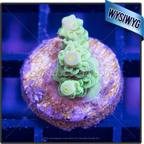 Dusty Purple Acropora Tenuis WYSIWYG 5