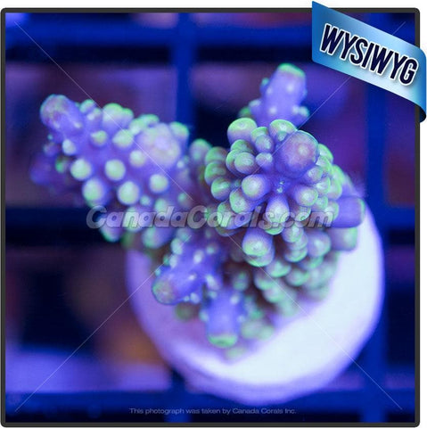 Grape Vine Acropora Secale WYSIWYG 3