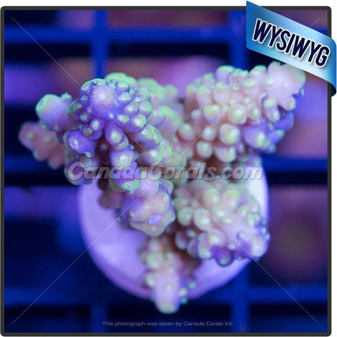 Grape Vine Acropora Secale WYSIWYG 4