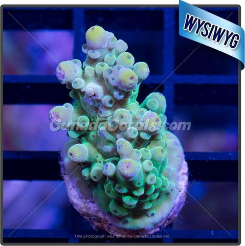 Lemon Lime Acropora Florida WYSIWYG 3