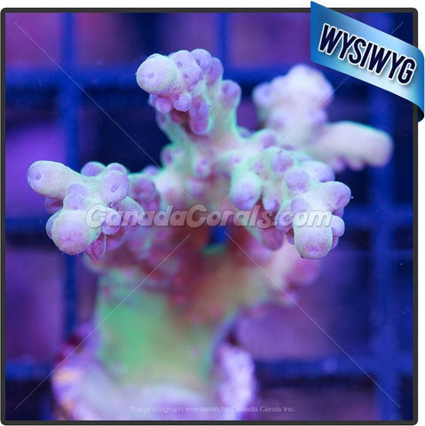 Green Pink Tipped Acropora Loripes WYSIWYG 2