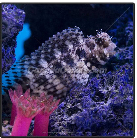 Lawnmower Blenny - Canada Corals