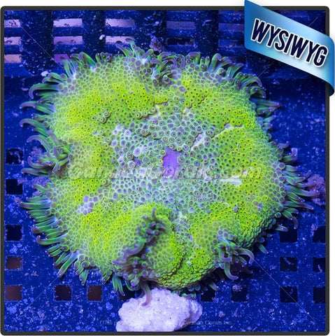 Sun Melt Mini Maxi Carpet Anemone WYSIWYG 2