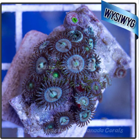WYSIWYG Assorted Zoanthid Colony 10