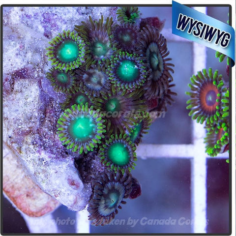 WYSIWYG Assorted Zoanthid Colony 14