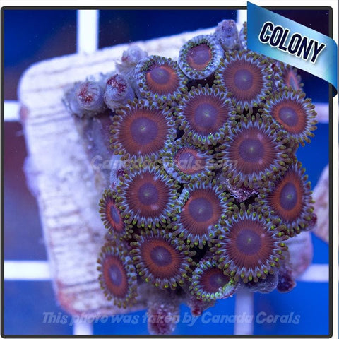 WYSIWYG Assorted Zoanthid Colony 2