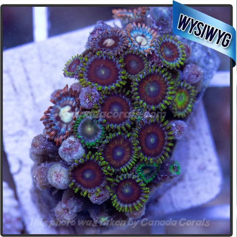 WYSIWYG Assorted Zoanthid Colony 4