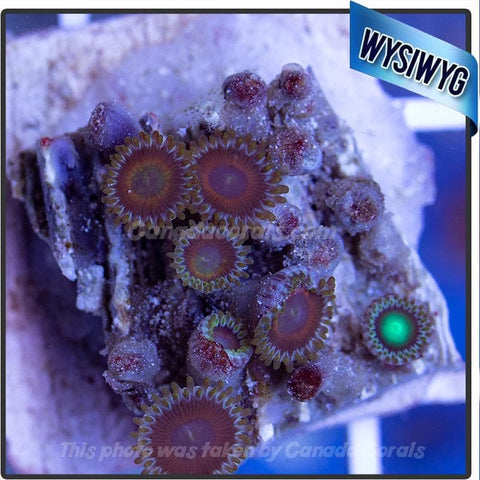 WYSIWYG Assorted Zoanthid Colony 5