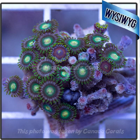 WYSIWYG Assorted Zoanthid Colony 6