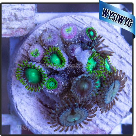 WYSIWYG Assorted Zoanthid Colony 7