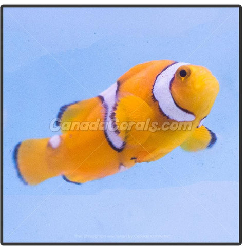 Assorted Captive Bred Ocellaris Clownfish - Canada Corals
