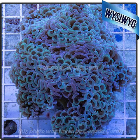 Aussie Dual Colour Wall Hammer Colony WYSIWYG