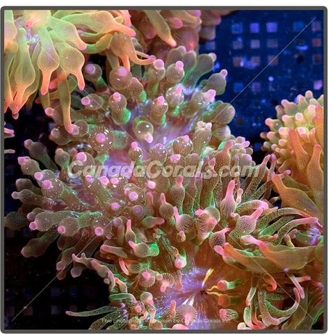 Assorted Rose Bubble Tip Anemone