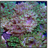 Assorted Green Speckled Bubble Tip Anemone