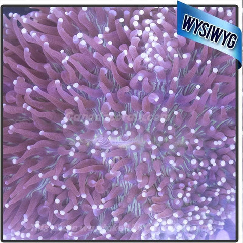 Show Size Neon Heliofungia Plate Coral WYSIWYG 4 - Canada Corals