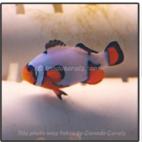 Locally Bred Black Ice Clownfish - Canada Corals