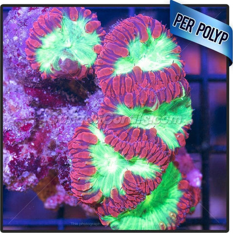 Red Neon Blastomussa Frag