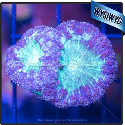 Virtual Violet Blastomussa WYSIWYG 5