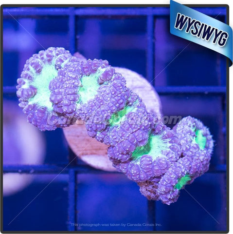 Purple Sublime Blastomussa Mini Colony