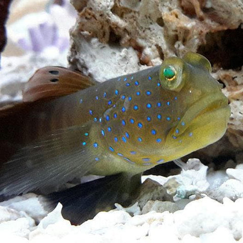 Bluespotted Watchman Goby - Canada Corals