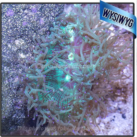 Australian Blue Tipped Elegance WYSIWYG Colony