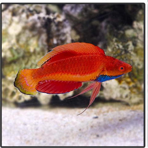 Blue Throat Fairy Wrasse - Canada Corals