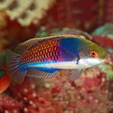 Bluehead Fairy Wrasse - Canada Corals