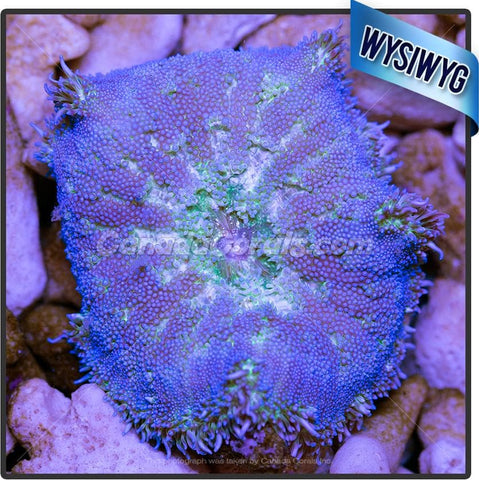Blue Mini Maxi Carpet Anemone