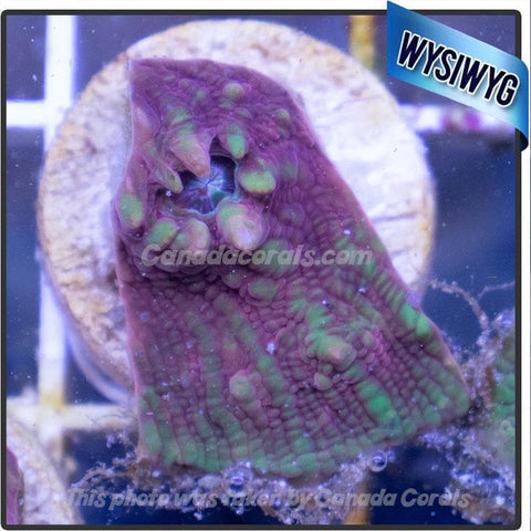 Lime Pink Chalice Frag WYSIWYG 2 - Canada Corals