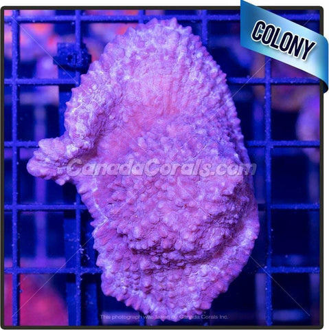 Blossom Tint Chalice Mini Colony