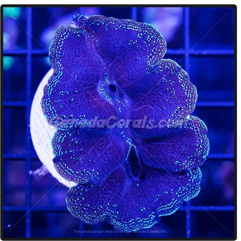 Blue Rim Crocea Clam